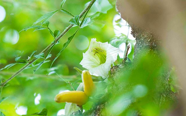 ロウソクの木