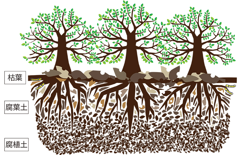 広葉樹林・枯葉から腐葉土、腐植土に変化するプロセス・堆積イメージ