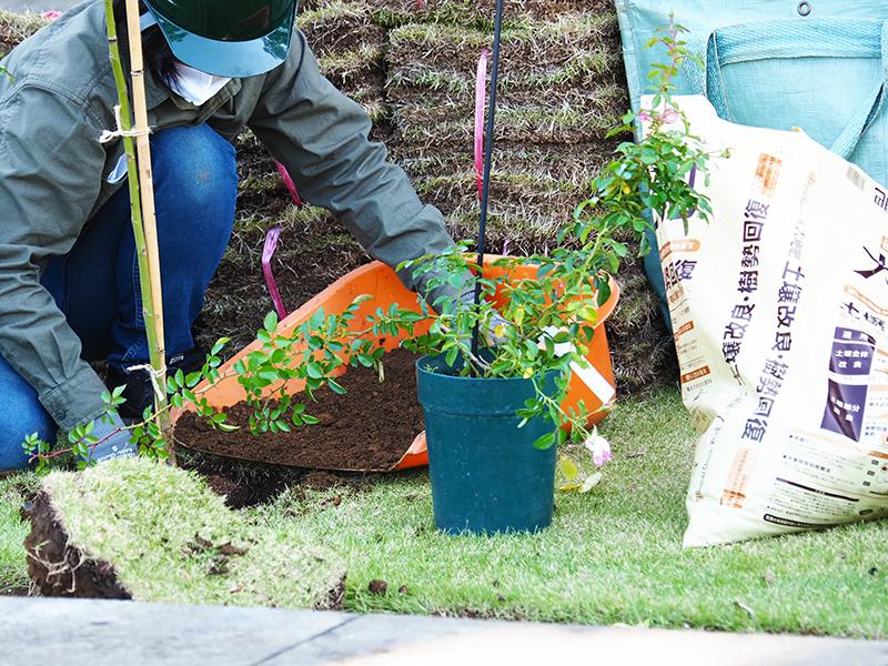 河合伸志氏の指導によるバラの植え込みに大地肥を使用している様子