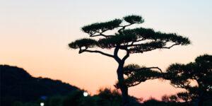 バイオゴールドによる松枯れ対策はなぜ他と違うのか?土壌改良による樹勢回復で解決する理由